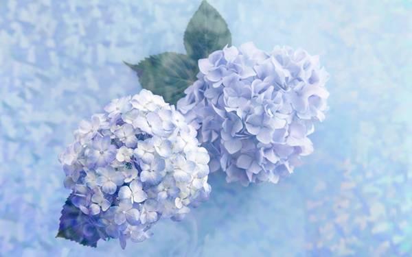 hydrangea_flowerlanguege_1