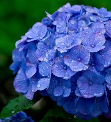 hydrangea_flowerlanguege_5