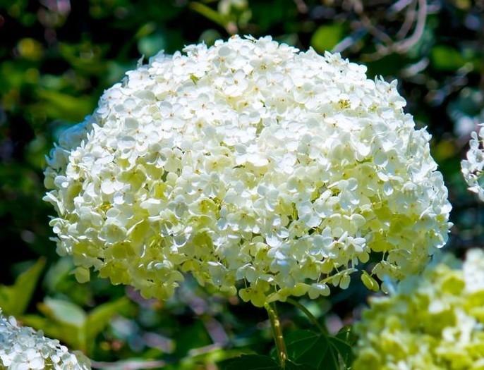 hydrangea_flowerlanguege_6