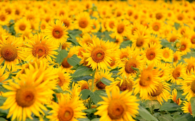 sunflower_flowerlanguage_5