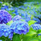 鎌倉のあじさい名所情報!開花時期やあじさい寺の情報も