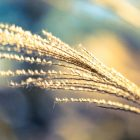 ススキの見頃の季節はいつ?艶っぽい別名や種類、花言葉についても!