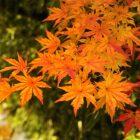 鎌倉の紅葉の見ごろは?おすすめスポットやライトアップも
