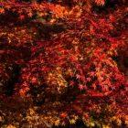 京都の紅葉の時期はいつが見頃?役立つ紅葉情報サイトもご紹介!