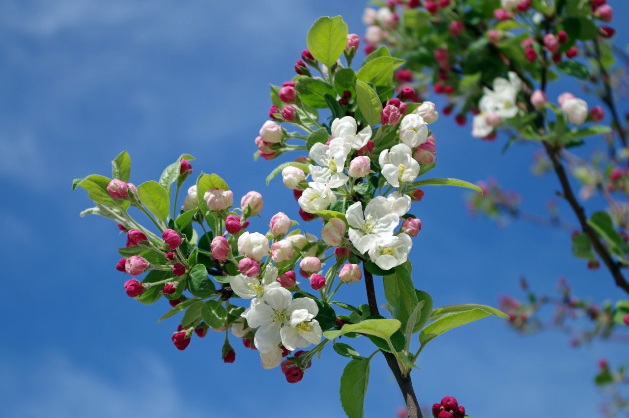 apple-flower-language-1