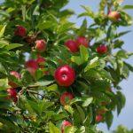 りんごにも花言葉があるのをご存知ですか?由来や意味は?