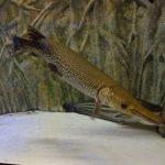 アリゲーターガーとはどんな魚?なぜ名古屋城で捕獲されたのか?